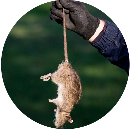 attic-rodent-removal-proofing-service